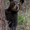 Image of June's male cub Cole taken late June 2013.  Cole was born in January 2013. Ursus americanus (American Black Bear).