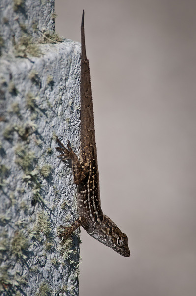Brown Anole at Ding Darling. Then he tried to sell me car insurance.