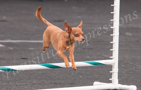Open JWW Show Me Canines AKC Agility Trial Sat 4 30 16