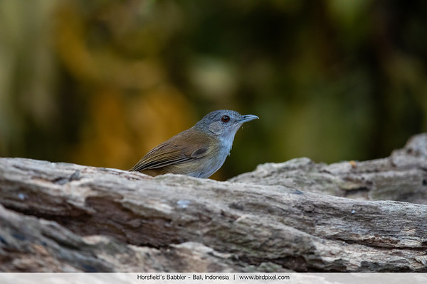 Ground Babblers and Allies - Pellorneidae