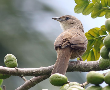Rufous-fronted Thornbird /  Phacellodomus rufifrons