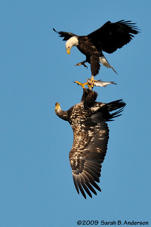 Sequence:  Bald Eagle fish stealing/talon lock