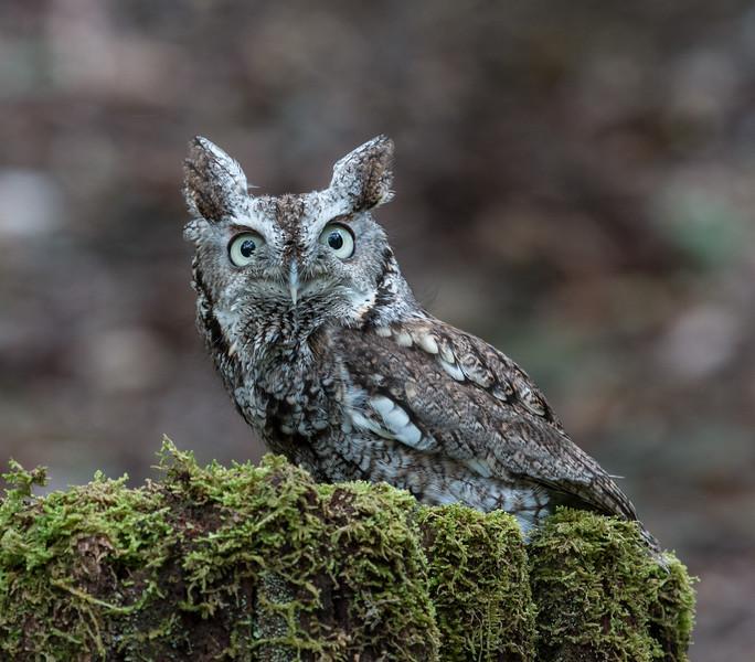 4-22-17.  Grey Screech  Owl.