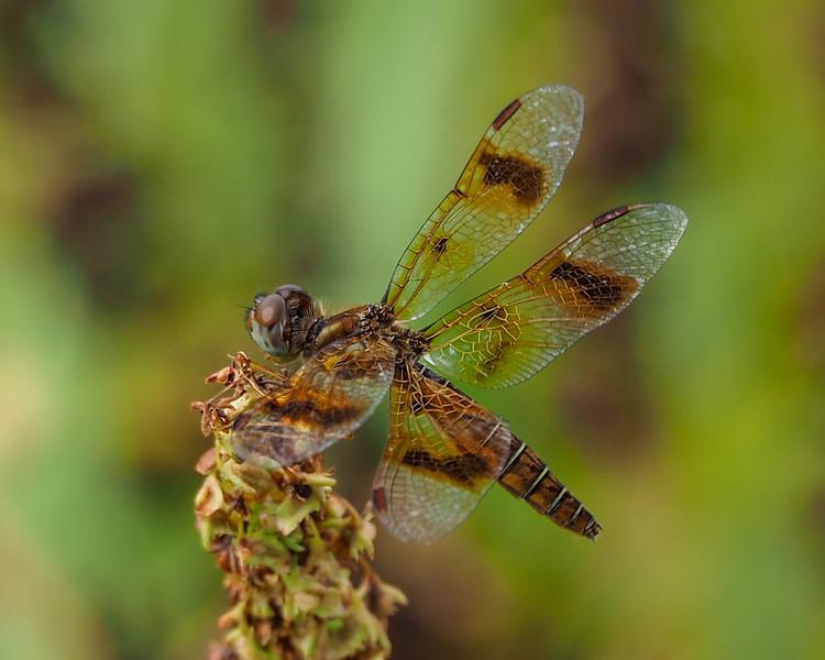 Eastern Amberwing, female
