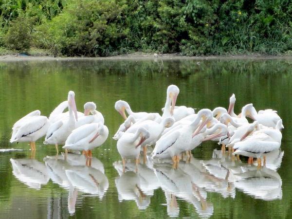 7_15_19 White Pelicans-rgb.jpg
