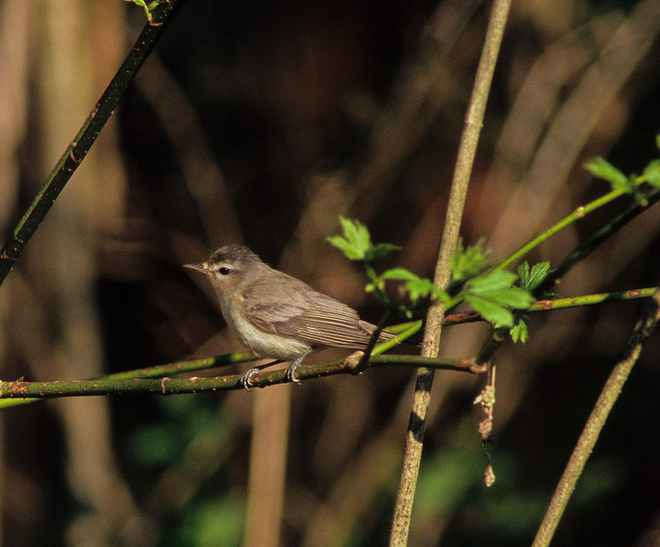 """Warbling Vireo  """"More often heard than seen"""" is a description in many field guides for this 'abundant' little bird.  Quite entertaining to listen to and a joy to actually photograph, it moved incessantly through the willows."""