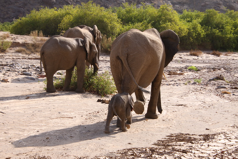Six day old desert elephant