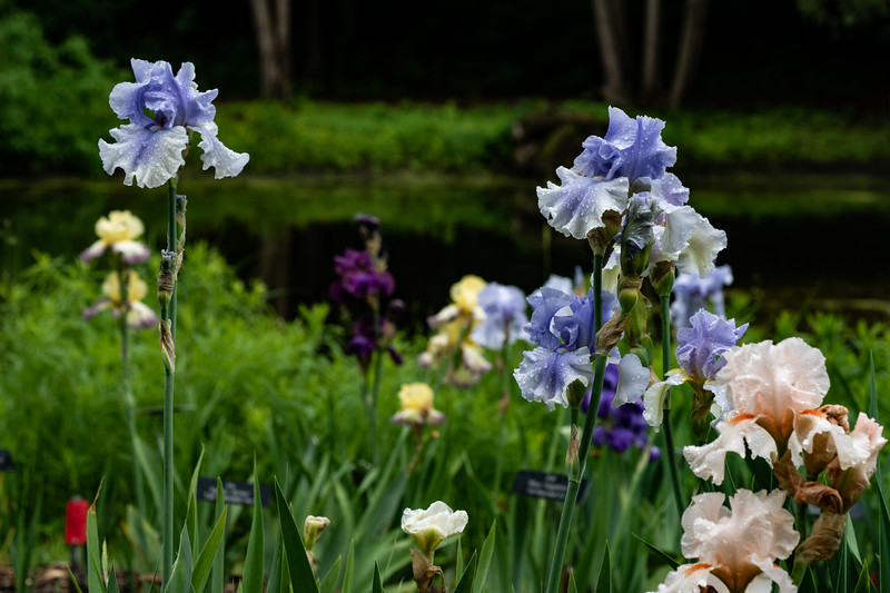 Arboretum Flower Iris-06465.JPG