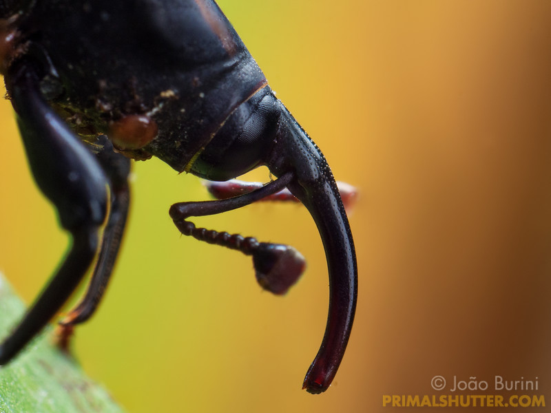 Portrait of an elephant weevil