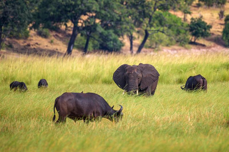 Elephant and buffalos grazing in Chobe National Park, Botswana
