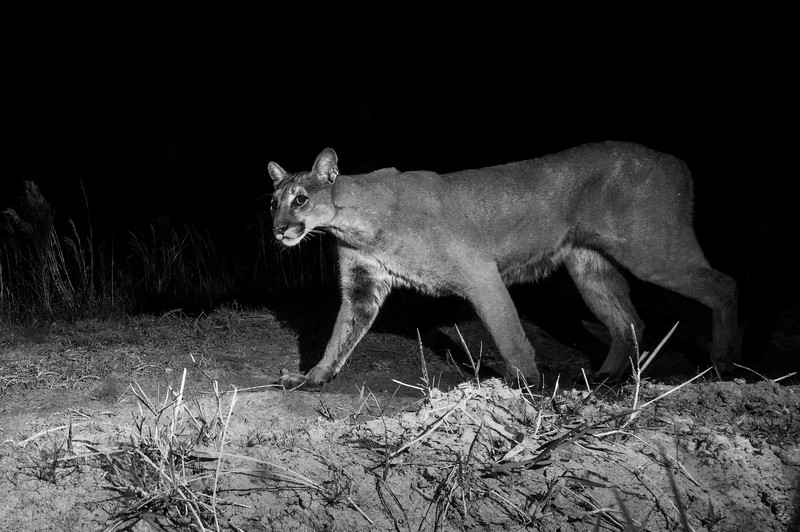 panther 16.jpg