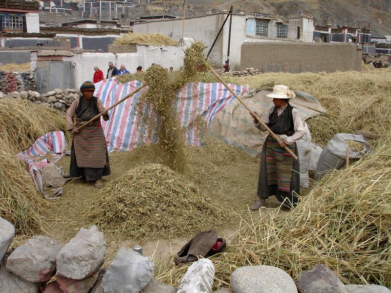 cleaning the harvest in Shegar, Tibet