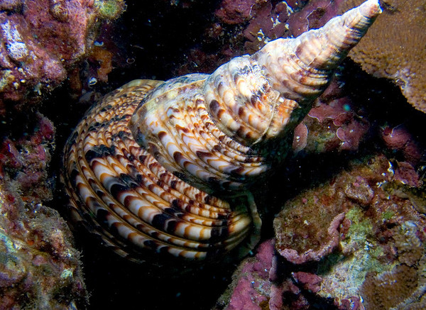 Sea Snails (Prosobranchia)
