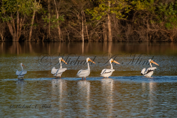 Pelicans Lake Perry - October 2019