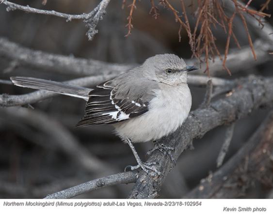 Northern Mockingbird A102954.jpg