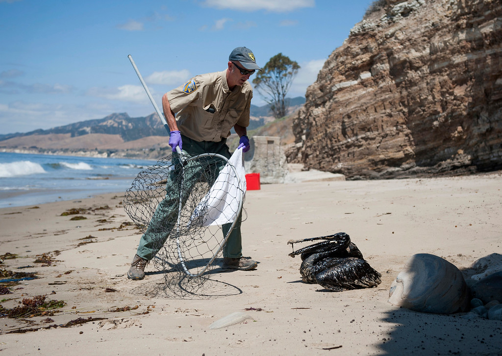 . Mike Harris, of the California Department of Fish and Wildlife, prepares to rescue a pelican covered in oil on the beach about a mile west of Refugio State Beach, Calif., Wednesday, May 20, 2015. A broken onshore pipeline spewed oil down a storm drain and into the ocean for several hours Tuesday before it was shut off. (Kenneth Song/The News-Press via AP)