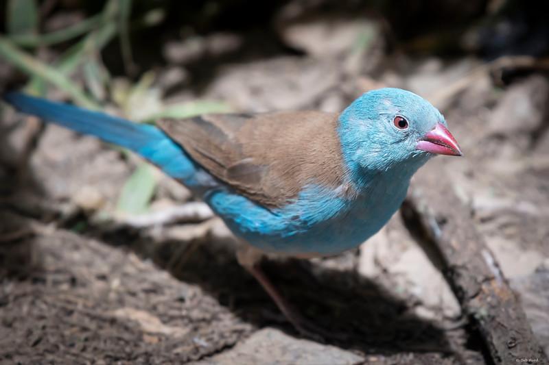 Blue-capped Cordonbleu