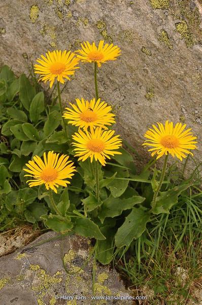 Doronicum clusii