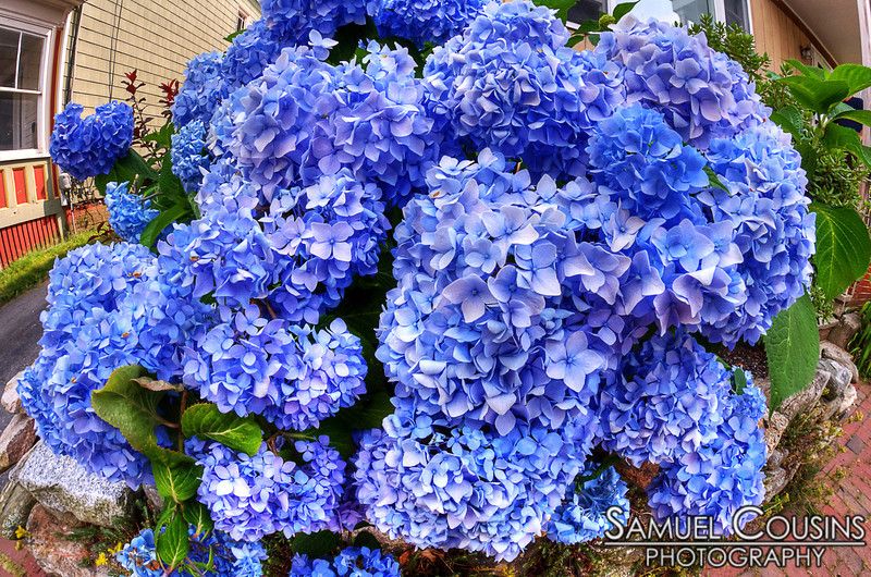 A huge bunch of blooming hydrangeas