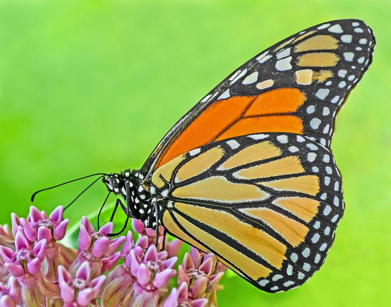 Monarch Butterfly on Milkweed Blooms