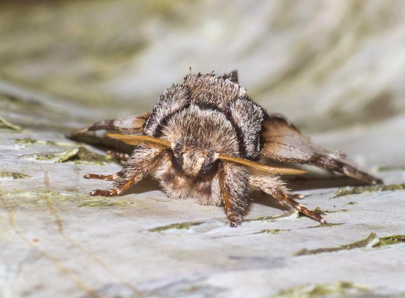 Pheosia rimosa Black-rimmed Prominent 93-0012 7922 Family Notodontidae Skogstjarna Carlton Co MN IMG_2710.jpg