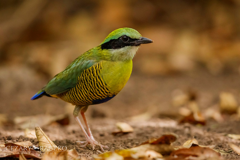 Bar-bellied Pitta (Hydrornis elliotii)