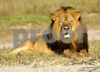 lions-death-public-outcry-raises-questions