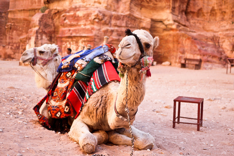 Camel action at The Treasury in Petra, Jordan.