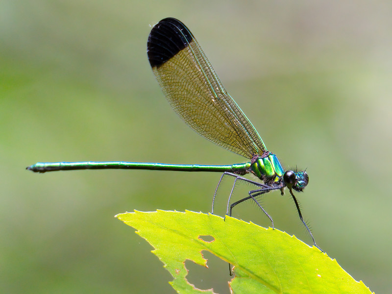 Sparkling Jewelwing (Calopteryx dimidiata), male