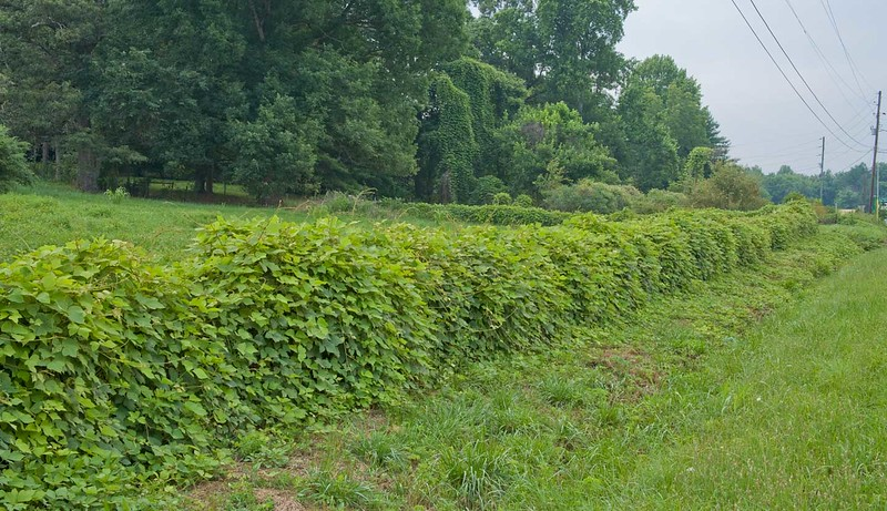 Fence covered in kudzu.
