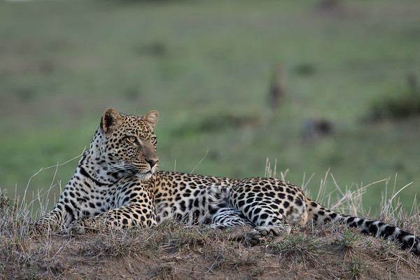The Big Cats - Please click on a photo to enlarge the image.