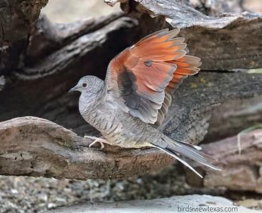 Quail / Doves