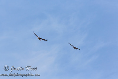 03-17-2020 Red-tailed Hawk Pair