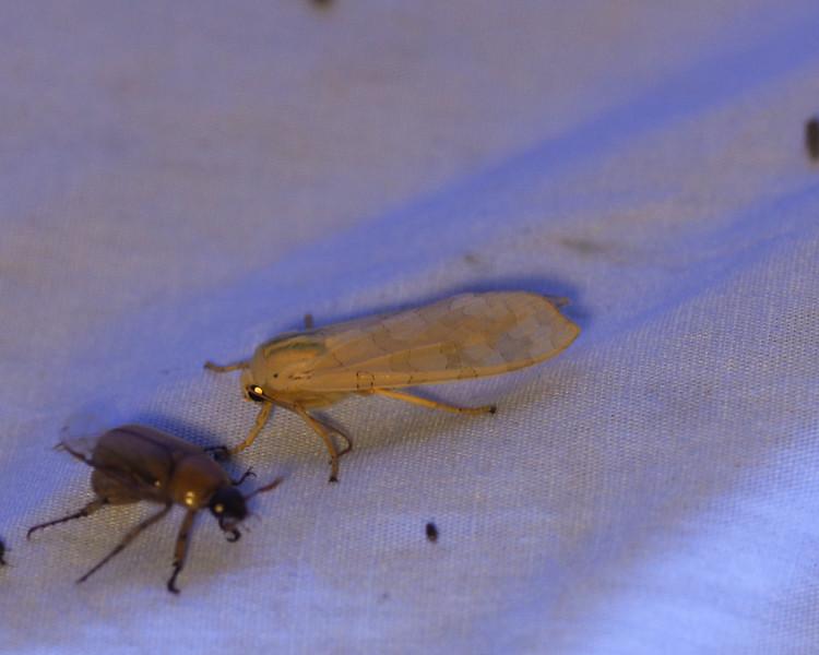 Banded Tussock Moth - 8203