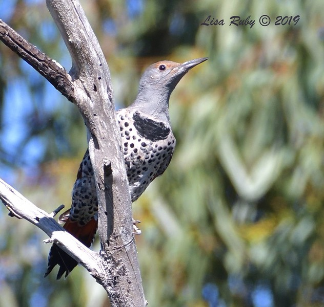 Northern Flicker  - 10/6/2019 - Sabre Springs Creek trail