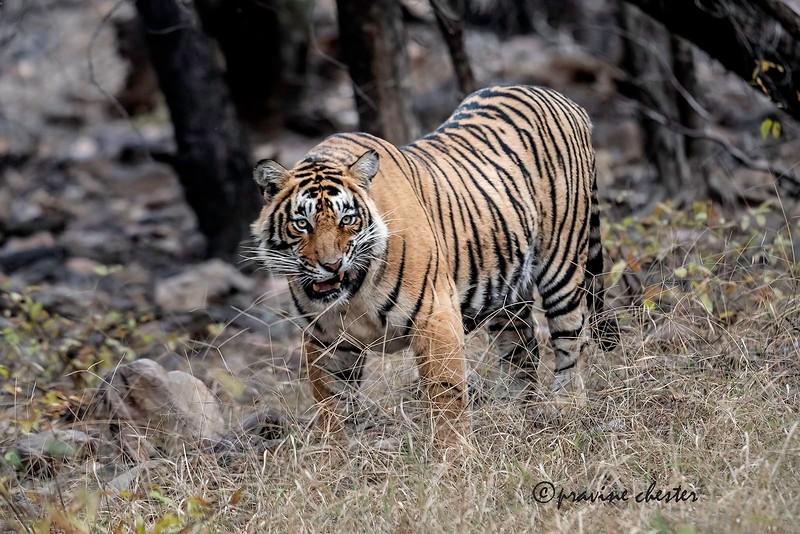 Irritated Tiger