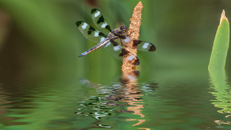 Spotted Dragonfly