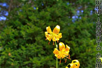 Lys - Lily (Lilium)