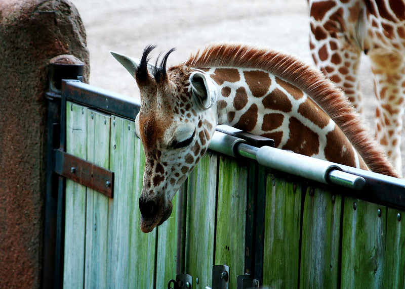 Giraffe locked in .jpg