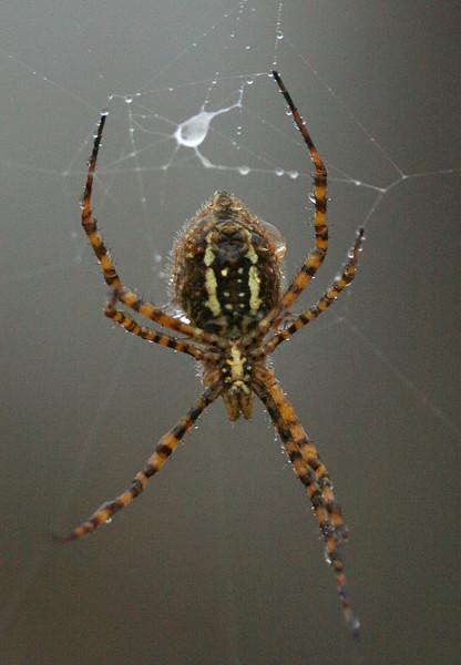 0886 Orb Spider.jpg