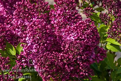"Burgundy Queen® Lilac - Syringa vulgaris ""LECBurg"""
