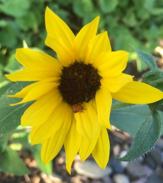 ladybug in my sun