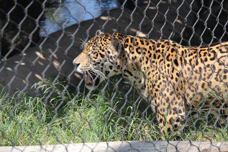 20170807-089 - San Diego Zoo - Leopard.JPG