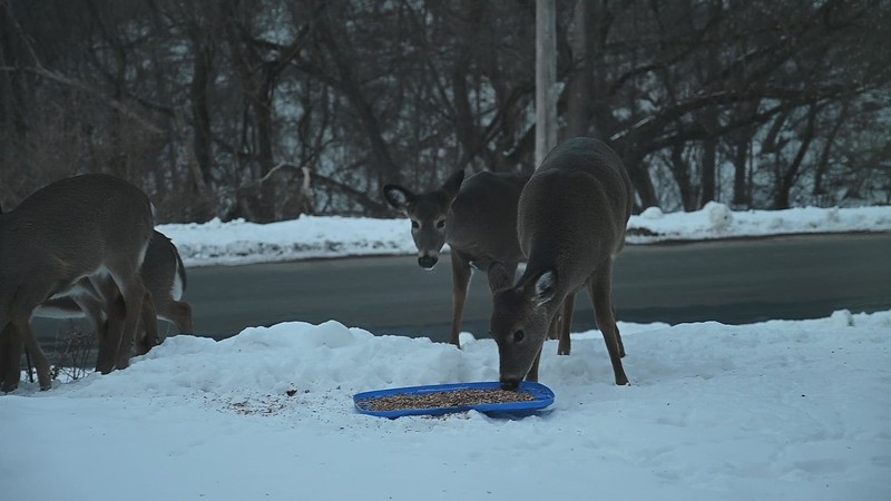 01-29-2021-deer_mp4.MP4