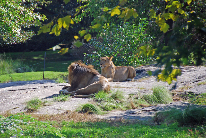 Lions by Karlee Brown