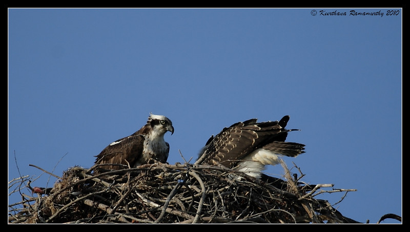 Ospreys, Robb Field, San Diego River, San Diego County, California, May 2010