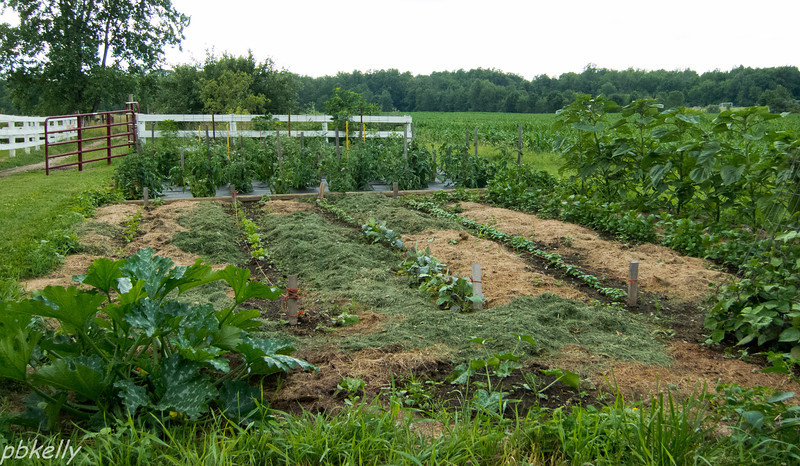 June 30.  The monthly update on our vegetable garden.  Still not pretty, but really doing well in spite of the nasty weather.   We use grass clippings for mulch between the rows.  Not attractive, but it works and goes right back into the soil.