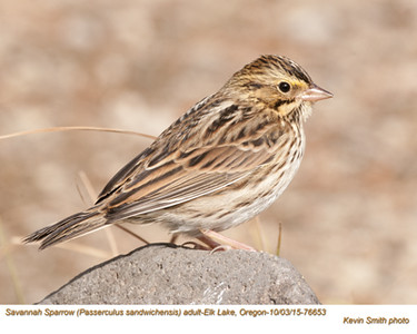 Savannah Sparrow A76653.jpg