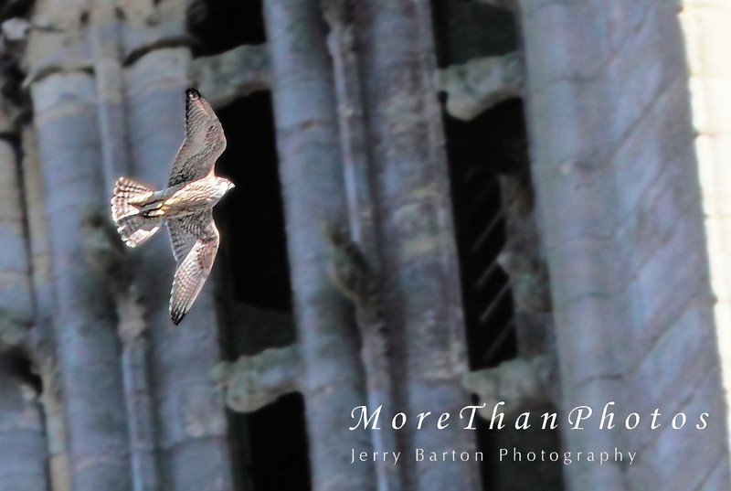 Peregrine Falcon, Lincoln Cathedral
