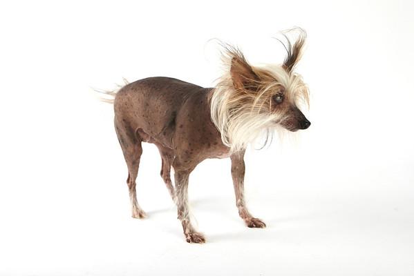 World's Ugliest Dog 2012